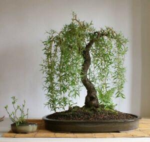 5x Echte Trauerweide Salix babylonica  Pre Bonsai Baum Stecklinge