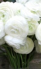 15+ WHORLED WHITE PERSIAN BUTTERCUP RANUNCULUS FLOWER SEEDS / RE-SEEDING ANNUAL