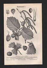 Lithografie 1897: Haselstrauch I/II. Haselnuss Strauch Busch Baum Holz Nüsse