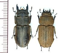 Lucanidae:Dorcus japonicus pair M24.6mmF22.2mm ,A1, unmounted,Japan,beetle