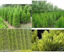 Cypress Trees Seeds Conifer Bonsai Seeds Green Garden Bonsai Seed Perennial Bons