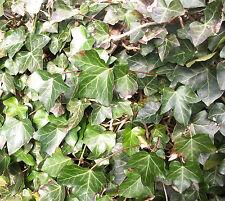 Efeu Bodendecker Kletterpflanzen im Topf 20 bis 30cm 50 Stück Hedera helix