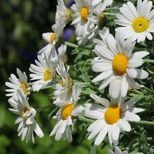 Terrasse Balkon Wintergarten Samen Sämereien Exoten Blume STRAUCH - MARGERITE