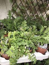 Cottage Garden plants X 4 ~jacobs Ladder, Shasta Daisy, Mallow Musk & Poppy