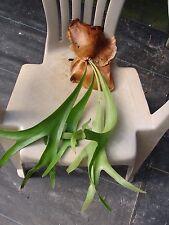 Platycerium vassei Bare root Species Staghorn Fern