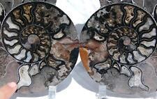"9052x RARE 1in100 BLACK Ammonite PAIR Deep Crystals 110myo FOSSIL XXL 205mm 8.1"""