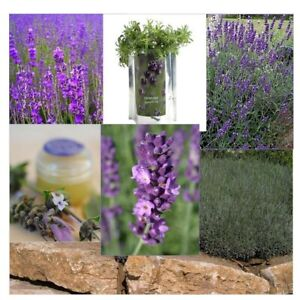 200+ English Lavender Seeds Heirloom NON-GMO Free Shipping Fresh for Your Garden