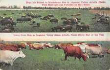 Imperial Valley California hogs and dairy cows in fields antique pc Z41473