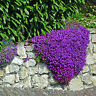 Lots 220pcs Cascade Purple Aubrieta Flower Seeds Perennial Ground Cover Romantic