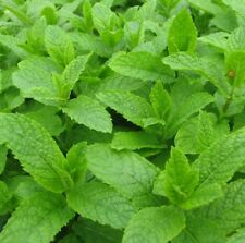 MOROCCAN MINT Mentha spicata intense spearmint tea herb plant in 100mm pot