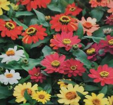 SUMMER BRILLIANCE ZINNIA elegans mass petite flower plants 6cell seedling punnet