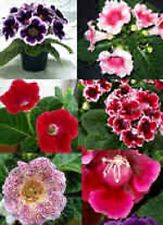 25+ GLOXINIA  EMPRESS MIX  FLOWER SEEDS / INDOOR HOUSE PLANT