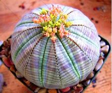 25 Blue Ball Cactus Seeds Mixed Barrel Heat Rare Succulents Stone Flower Desert