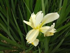 DUTCH IRIS BULBS  COLORFUL FLOWERS HARDY PERENNIAL PLANTS Great for any area!
