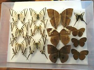 Store Box 1 13 Tropical World Butterflies Moths Insect Lepidoptera Taxidermy