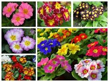 100pcs Primrose Flower Seeds Mixed Perennial Fragrant Potted Plant Home Garden