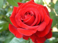 Red Rose Flower Seeds Garden Plant, (Buy 1 Get 1 15% Off), UK Seller