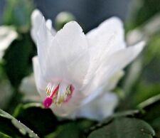 Christmas Cactus 'Schlumbergera'  |  White Flowers |  2 Succulent Plant Cuttings