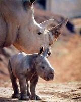 Wall Decor Mother Rhinoceros With Her Baby White Rhino Wildlife Animal Art 16x20