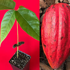 """Red Theobroma Cacao Cocoa Chocolate Tropical Fruit Tree Potted Plant 10-13"""""""