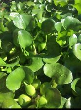 2 Small Live Water Hyacinth Plants - Excellent filter plant for your pond!