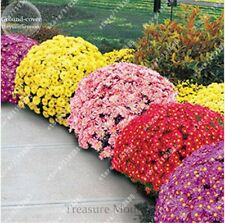 100 Pcs Ground-cover Chrysanthemum Seeds Perennial Daisy Flower Seeds Mix Color