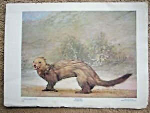 1900 ANTIQUE WEASEL ANIMAL LITHOGRAPH PRINT