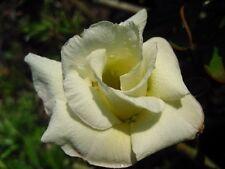 Adenium Obesum Desert Rose - CX Hongyok - Perennial Bonsai Seeds (5)