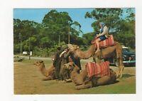 Morocco Camels Postcard 527a