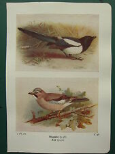 Vintage Oiseau Imprimé ~Magpie ~ Jay