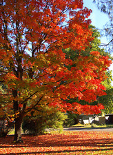 Northern Sugar Maple, Acer saccharum, Tree Seeds ( Pack of 5 Seeds) T-001