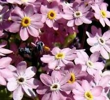 Forget-Me-Not- Chinese - (Cynoglossum Amabile) Mystic Pink - 100 Seeds