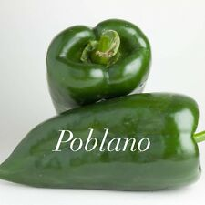 HOT CHILLI PEPPER - POBLANO - 10 SEEDS