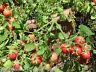 🔥 🍅GARDEN PEARL Zimmertomate 10 Samen SEHR SELTEN Tomaten für Balkon und Kübel