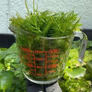 (2) TWO CUPS Hornwort Ceratophyllum demersum aquatic Live PlantAquarium