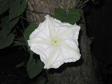 Ipomoea alba - White Perennial Morning Glory - 12 Fresh Seeds