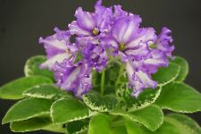 5 Chimeras meiner Wahl//5 chimeras of my choice African Violet