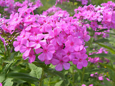 Perennial Phlox Seeds - PINK - Winter Hardy Perennial - theseedhouse - 20  Seeds