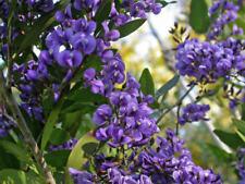 Wild Wisteria (Hardenbergia Comptoniana) - 20 Seeds