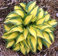 Hosta Plants Hosta Seeds Bonsai Flower Seeds Plant Coleus Seeds 100 Pcs/Bag