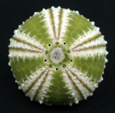 Exquisite, seldom seen Arbacia dufresnii 32.8 mm Patagonia sea urchin