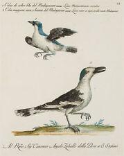 """V.L. VANNI (*1732) Blauvanga, Vogel aus S. Manetti """"Storia naturale"""", Aqu. Rad."""
