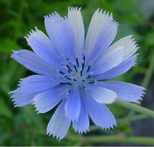 Chicory- Italian Dandelion- 400 Seeds - 50 % off sale
