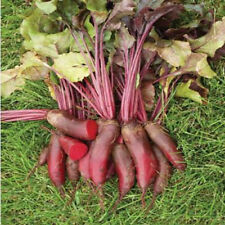25 pcs Cylindra Beetroot Seeds NON GMO, ORGANIC Vegetable