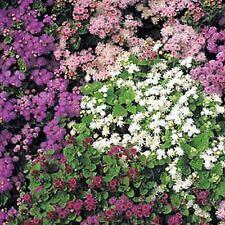 New listing Ageratum Hawaii Flower Seeds - Bulk