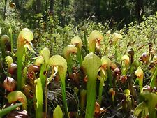 Darlingtonia californica Cobra Plant Carnivorous Seeds!