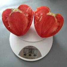 Bulgarische Tomate, Ochsenherz ,Tomaten Saatgut, 15+Stück aus Eigenanbau