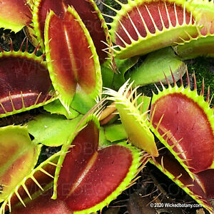 """Venus flytrap - Young 1-2"""" Potted Starter Plant - Professional Grower"""