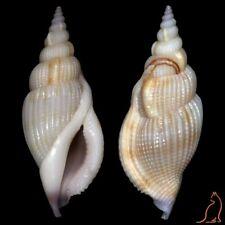 Tibia Varicospira kooli, India, Rostellariidae sea shell