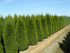 1,000 Italian Cypress Tree Seeds, Fast Growing, Free Shipping